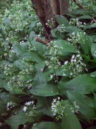wild_garlic_pw